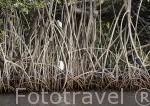 """Garceta comun. """"Egretta garcetta"""" Little egret, en un manglar al atardecer. Delta del Saloum. Senegal. Africa"""