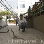 Cobra de anteojos y visitantes. Granja de serpientes e Instituto memorial de la reina Saovabha. 2a abierta del mundo en el año 22/11/1923. Ciudad de BANGKOK. Tailandia