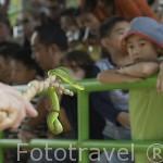 """Trimeresurus"". White lipped green pit viper. Granja de serpientes e Instituto memorial de la reina Saovabha. 2a abierta del mundo en el año 22/11/1923. Ciudad de BANGKOK. Tailandia"