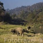 Elefantes en la granja escuela de Maeping. En el distrito de Chiang Dao. CHIANG MAI. Tailandia
