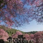 """Bosque y flores rosas del arbol de cerezo de origen japones Sakura """"Prunus Serrulata"""". Cerca HMONG CHANG KIEN. Chiang Mai. Thailandia"""