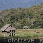 Campos de cultivo de ajo cerca de MAE HONG SON. Tailandia