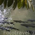 Banco de peces en un arroyo. Tailandia
