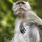 Macaco descansando. Cerca de Krabi. Tailandia