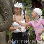 Chicas dando de comer platanos a un elefante asiatico despues de terminar recorrido turistico. Isla de KO LANTA. Tailandia