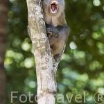 Macaco en el Parque Nacional Marino Ko Lanta. Isla de KO LANTA YAI. Tailandia