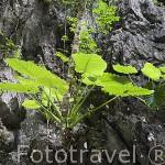 Plantas creciendo en la pared caliza casi vertical. Isla de KO MUK. Cerca de Trang. Mar de Andaman. Tailandia