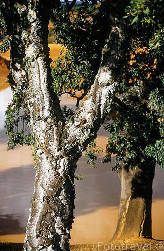 "Alcornoque ""Quercus suber"". Creciendo en terrreno calizo. Sevilla."