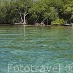 Manglares. Isla Pirata. Islas del Rosario. CARTAGENA DE INDIAS. Departamento de Bolivar. Colombia