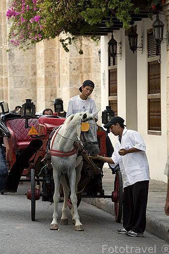 Dando de comer a un caballo. Ciudad de CARTAGENA DE INDIAS. Colombia. Suramerica