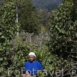 Mujer recolectando los granos de cafe detras la montaña de Cerro Verde. El Salvador. Centro américa.