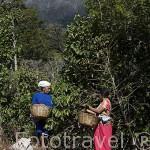 Mujeres recolectando los granos de cafe detras la montaña de Cerro Verde. El Salvador. Centro américa.