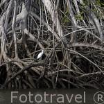 """Manglares y garcilla """"Garcetta egretta"""". Zona del lago de Suchitlán. El Salvador. Centro américa."""