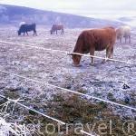 Vacas pastando en los Montes de León, cerca de FONCEBADÓN. Castilla y León. España. -Camino de Santiago