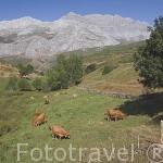 Vacas en un prado. Cerca del pueblo de TORREBARRIO.Comarca de Babia. Leon. Castilla y Leon. España