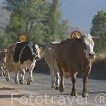 Vacas caminando por la carretera, cerca de HUERGAS DE BABIA. Comarca de Babia. Leon. Castilla y Leon. España
