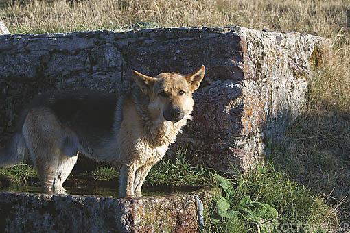 Pastor aleman metido en una fuente en el pueblo de RIOLAGO DE BABIA. Comarca de Babia. Leon. Castilla y Leon. España