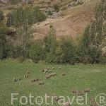Ovejas y perro guardian en un prado cerca de CACABILLO. Comarca de Babia. Leon. Castilla y Leon. España