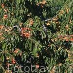 Cerezas casi maduras. Cerca de PONFERRADA. Provincia de Leon. España. Spain