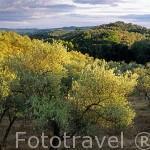 """Paisaje de olivos """"Olea europaea"""" en el Parque Natural de la Sierra Norte. Sevilla. España."""