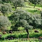 Cerdos ibéricos. Parque Natural de la Sierra Norte. Sevilla. España.