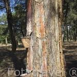 Pinares y vasos para recoger la resina de los pinos. Cerca de ZARZUELA DEL PINAR. Comarca de Tierra de Pinares. Segovia. Castilla y León. España
