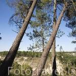Pinares en el sendero El Manzano - Sotocivieco cerca de ZARZUELA DEL PINAR. Comarca de Tierra de Pinares. Segovia. Castilla y León. España