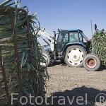 Recogiendo cebolletas con tractor en CAMPO DE CUELLAR. Comarca de Tierra de Pinares. Segovia. Castilla y León. España