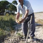Agricultor recogiendo patatas en su parcela en CAMPO DE CUELLAR. Comarca de Tierra de Pinares. Segovia. Castilla y León. España