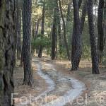 Bosque de pinares cerca de OLOMBRADA. Comarca de Tierra de Pinares. Segovia. Castilla y León. España