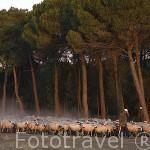 Pastor con su rebaño de ovejas. Cerca de MEMBIBRE DE LA HOZ. Comarca de Tierra de Pinares. Segovia. Castilla y León. España