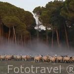 Rebaño de ovejas churras. Cerca de MEMBIBRE DE LA HOZ. Comarca de Tierra de Pinares. Segovia. Castilla y León. España