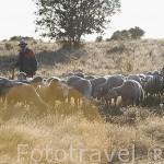 Ovejas merinas y pastor cerca de LA CUESTA. Comarca de Tierra de Pinares. Segovia. Castilla y León. España