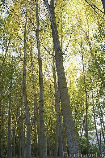 Bosque de alamos.Tierra de Pinares.Segovia.Castilla y León. España.