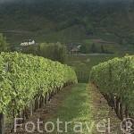 Campos de viñedos cerca de CHIGNIN. Saboya. Rhones Alpes. Francia