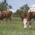 Vacas pastando cerca de la poblacion de ROCHE SUR FORON. Alta Saboya. Rhones Alpes. Francia