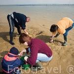 Una familia recogiendo chirlas y otros bivalvos. Playas ostricolas de SAINT TROJAN. Isla de Oleron. Francia