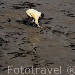 Recogiendo mariscos y otros bivalvos. Playas ostricolas de SAINT TROJAN. Isla de Oleron. Francia