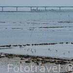 Aves y campos ostricolas en marea baja. Al fondo el viaducto de Oleron. Playa de SAINT TROJAN. Isla de Oleron. Francia