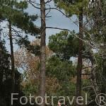 Familia y pinos en la playa de Gatseau. Isla de Oleron. Francia