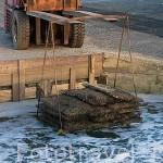 Sacos de plastico repletos de ostras (Ostrea edulis) preparados para sumergirse en agua dulce para su lavado en el puerto de ORS. Isla de Oleron. Francia