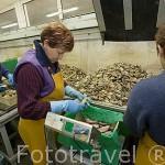 Seleccionando ostras por su tamaño en la empresa ostricola Sorlut Daniel. MARENNES. Frente a la isla de Oleron. Francia