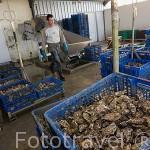 Cajas llenas de ostras (Ostrea edulis) en la empresa ostricola Sorlut Daniel. MARENNES. Frente a la isla de Oleron. Francia