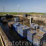 Cajas llenas de ostras (Ostrea edulis) dispuestas para su lavado. Empresa ostricola Sorlut Daniel. MARENNES. Frente a la isla de Oleron. Francia