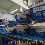 Ostras empaquetadas por tamaños listas para su venta. Empresa Sorlut Daniel. MARENNES. Frente a la isla de Oleron. Francia