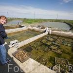 La Sra. Dominique Richiero y sus cajones llenos de ostras (Ostrea edulis). Cerca de MARENNES. Frente a la isla de Oleron. Francia. M.R.072