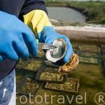 """Mostrando una ostra con carne de color verde criada en los canales llamados """"claires"""". Cerca de MARENNES. Frente a la isla de Oleron. Francia."""
