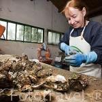 Dominique Richiero limpiando las pequeñas ostras que se quedaron adheridas. Cerca de MARENNES. Frente a la isla de Oleron. Francia. M.R.72
