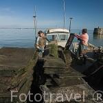 Sacando a ostras jovenes de sus sacos de plastico para limpiarlas y ponerlas en otros sacos donde tengan mas espacio. BOURCEFRANC LE CHAPUS frente a la isla de Oleron. Francia