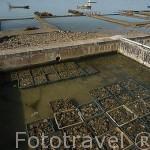 Cajas de ostras (Ostrea edulis) frente a BOURCEFRANC LE CHAPUS frente a la isla de Oleron. Francia